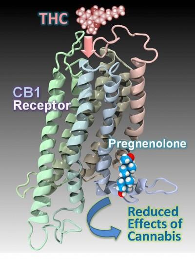 테트라하이드로카나비놀(THC)는 우리몸속 CB1 수용체와 결함해 생화학반응을 일으킨다. 콜레스테롤의 일종인 프레그네놀론이 경쟁적으로 CB1 수용체에 결합해 THC의 반응을 낮출 수 있다. - Derek Shore, Pier Vincenzo Piazza and Patricia Reggio 제공